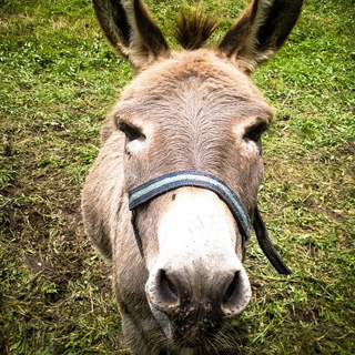 Elm House - kissing a donkey was said to relive toothache in medieval Germany